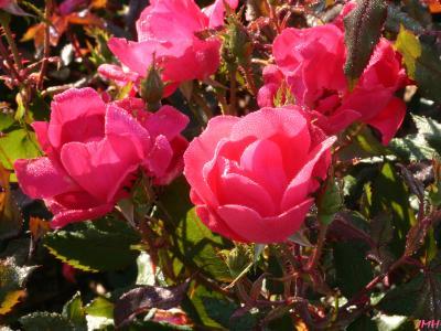 Rosa L. (rose), flowers, stems, leaves, buds