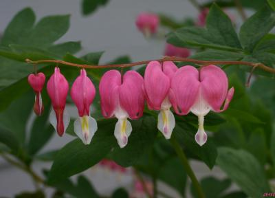 Dicentra spectabilis (L.) Lemaire (common bleeding heart), inflorescence, leaves