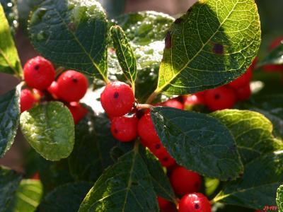 Ilex 'Sparkleberry' (Sparkleberry winterberry), fruit
