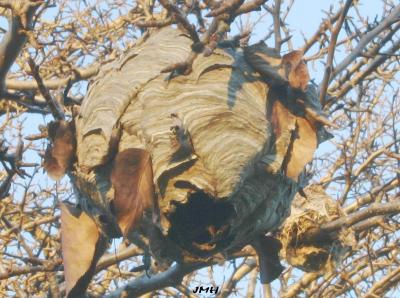 Wasp nest in tree branches, autumn