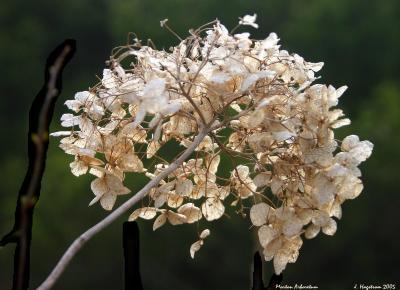 Hydrangea, inflorescence, faded