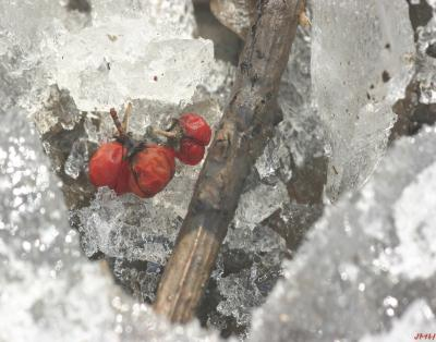 Berries in ice hole