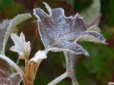 Hydrangea quercifolia W. Bartram (oak-leaved hydrangea), leaf, petiole