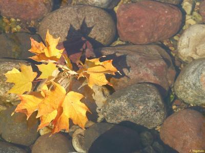 Maple leaves on rocks
