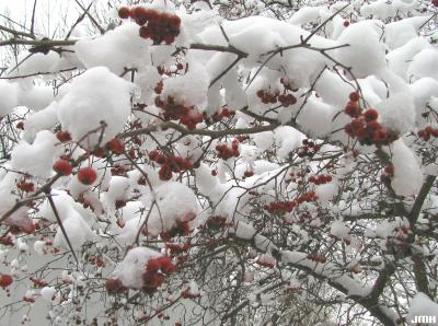 Malus Mill. (crabapple), fruit, branches, winter