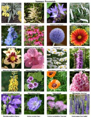 Summer Perennials Chart