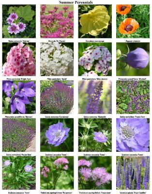 Summer Perennials 03