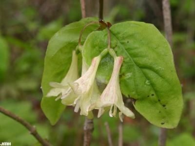 Datura innoxia Mill. (devil's trumpet), flowers