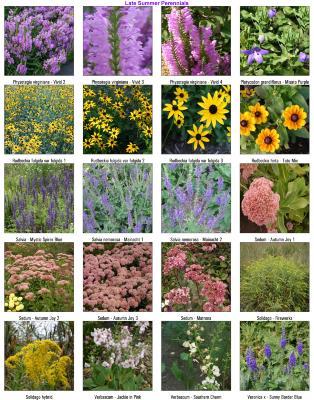 Late Summer Perennials 05