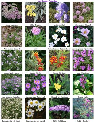 Late Summer Perennials Chart