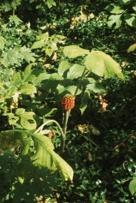 Arisaema triphyllum (Jack-in-the-pulpit), habit, fall