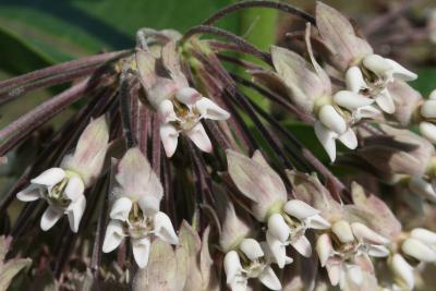 Asclepias syriaca (Common Milkweed), flower, full