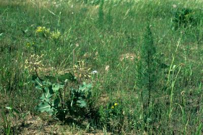 Asclepias amplexicaulis (Sand Milkweed), habitat, habit, summer