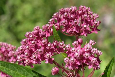 Asclepias incarnata (Swamp Milkweed), inflorescence, flower, full