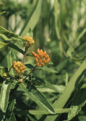 Asclepias tuberosa (Butterfly Milkweed), bud, flower