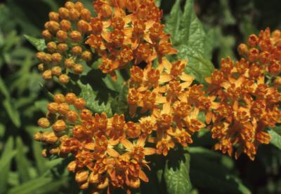Asclepias tuberosa (Butterfly Milkweed), flower, full, bud, flower
