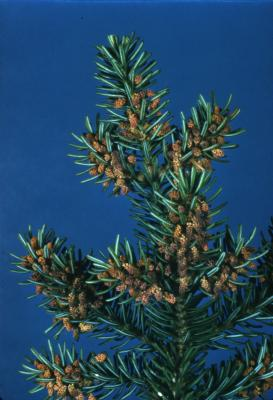 Abies balsamea (L.) Mill. (balsam fir), cones and needles