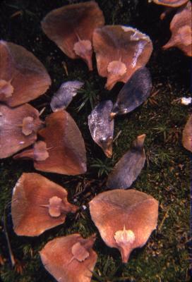 Abies balsamea (L.) Mill. (balsam fir), scales and seeds