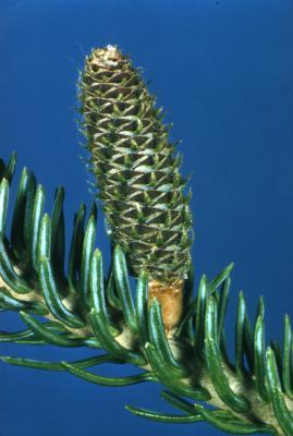 Abies balsamea (L.) Mill. (balsam fir), young cone