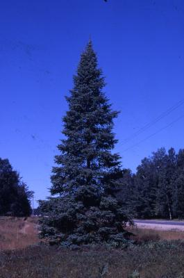 Abies balsamea (L.) Mill. (balsam fir), habit