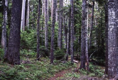 Abies amabilis (Dougl.) Forbes (Pacific silver fir), forest floor