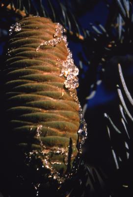 Abies concolor (Hook.) Nutt. (white fir), cone