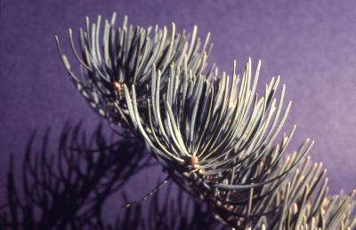 Abies concolor (Hook.) Nutt. (white fir), branch tip and needles