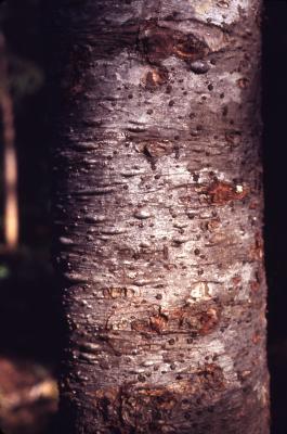 Abies amabilis (Dougl.) Forbes (Pacific silver fir), bark