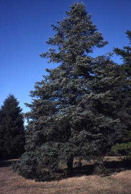Abies concolor 'Violacea' (purplecone white fir), habit
