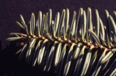 Abies sp. (fir), branch tip, needles