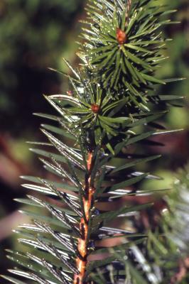 Abies bracteata D. Don (Santa Lucia fir), needles