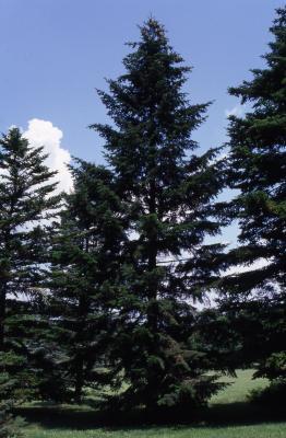 Abies alba Mill. (silver fir), habit