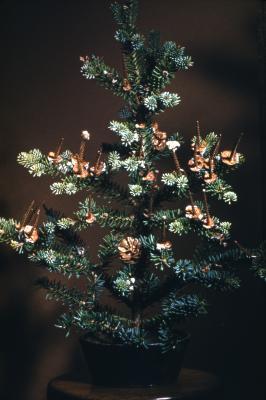 Abies balsamea (L.) Mill. (balsam fir), habit and cone spikes