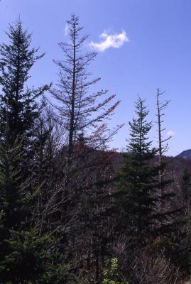 Abies fraseri (Pursh) Poir. (Fraser's fir), small stand of fir, against skyline backdrop