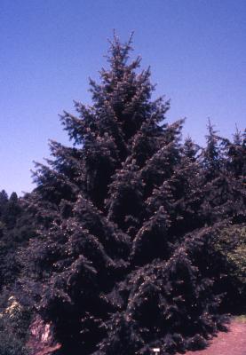 Abies bracteata D. Don (Santa Lucia fir), habit