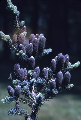 Abies balsamea (L.) Mill. (balsam fir), young cones