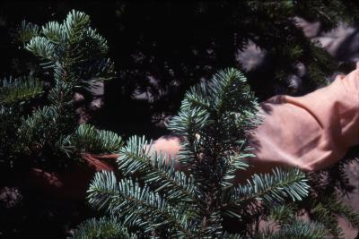 Abies lasiocarpa (Hook.) Nutt. (subalpine fir) [left] and Abies amabilis (Dougl.) Forbes (Pacific silver fir) [right],  branches, needles