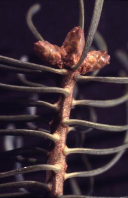 Abies concolor (Hook.) Nutt. (white fir), buds