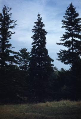 Abies cilicica (Ant. & Kotschy) Carr. (Cilician fir), habit