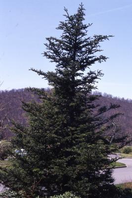 Abies fraseri  Poir. (Fraser's fir), habit