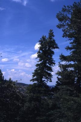 Abies concolor (Hook.) Nutt. (white fir), habit
