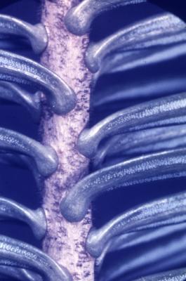 Abies sp. (fir), needles