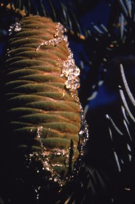 Abies concolor (Hook.) Nutt. (white fir), cones