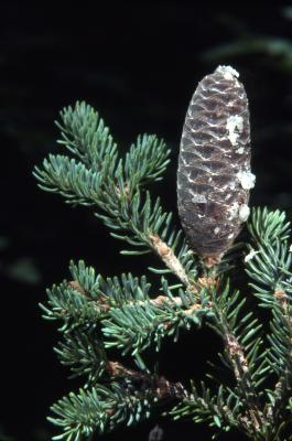 Abies balsamea (L.) Mill. (balsam fir), cone