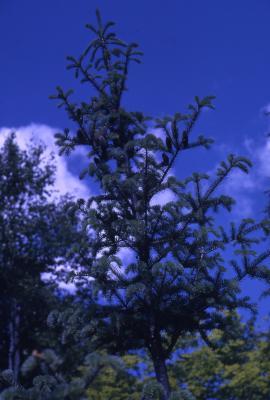 Abies balsamea (L.) Mill. (balsam fir), crown habit