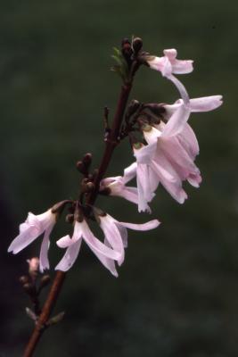 Abeliophyllum distichum Nakai (white-forsythia), flowers, branch