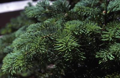 Abies amabilis (Dougl.) Forbes (Pacific silver fir), branch tips, needles