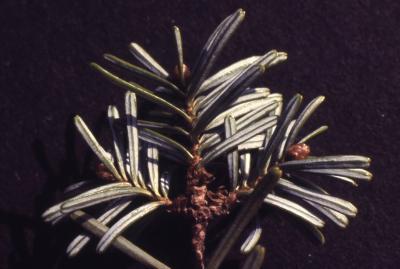 Abies Mill. (fir), needles, branch