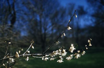 Abeliophyllum distichum Nakai (white-forsythia), branch, flowers
