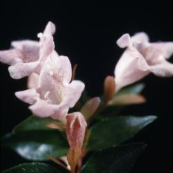 Abelia 'Edward Goucher' (Edward Goucher abelia), flowers, bud